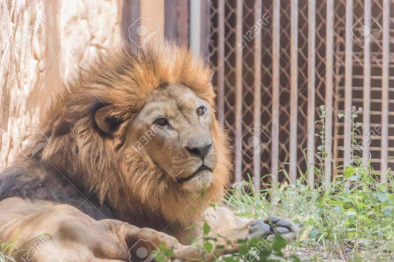 ライオン、ヒョウ属の種であるし...