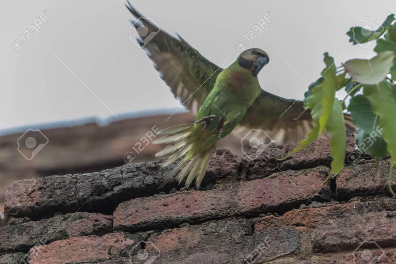 Parrots or birds hookworm (English: Parrot) is one of the birds