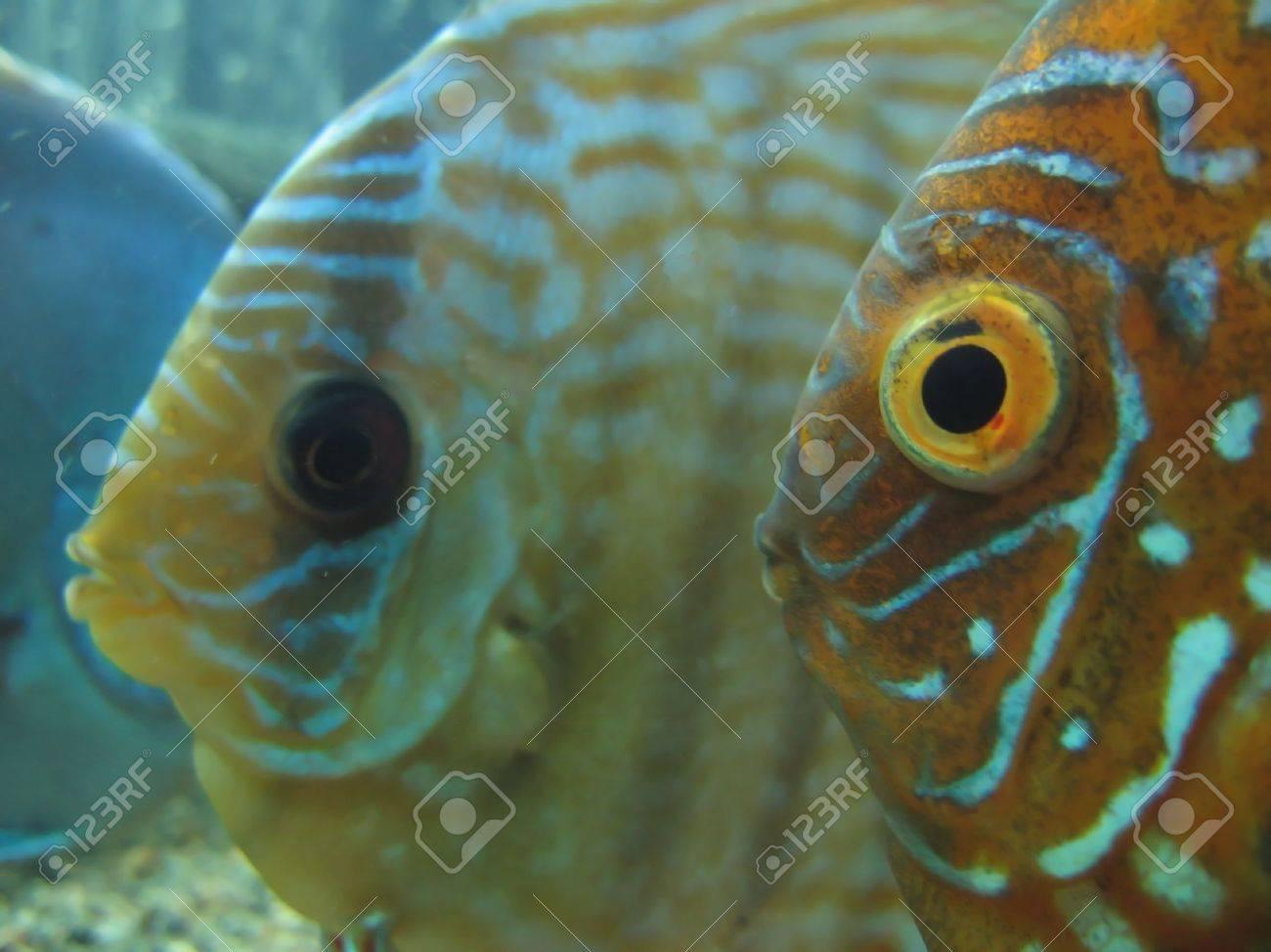Fish for big aquarium - Stock Photo Two Orange Fish With Big Eyes In Aquarium