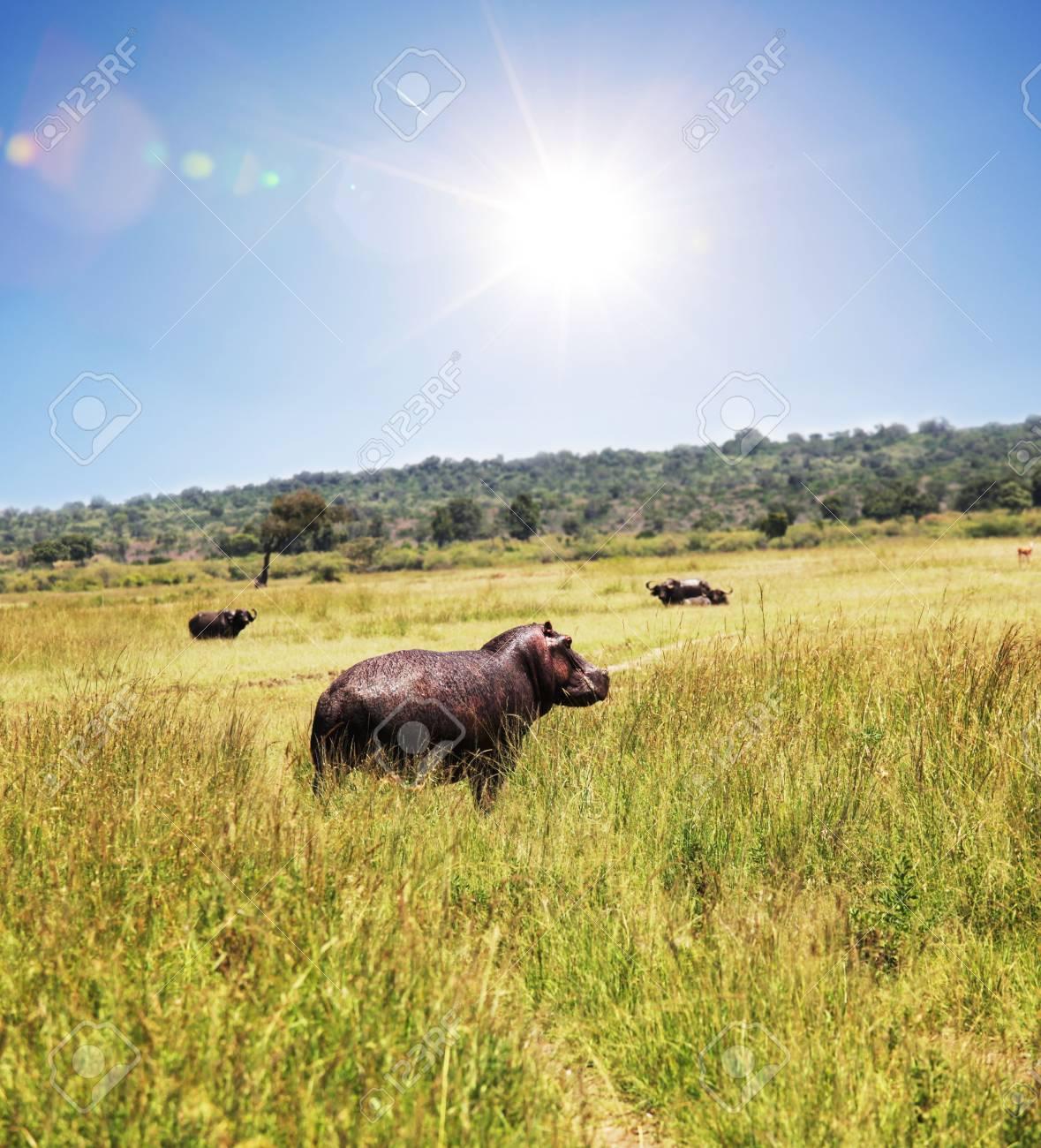 hippo Stock Photo - 6420276