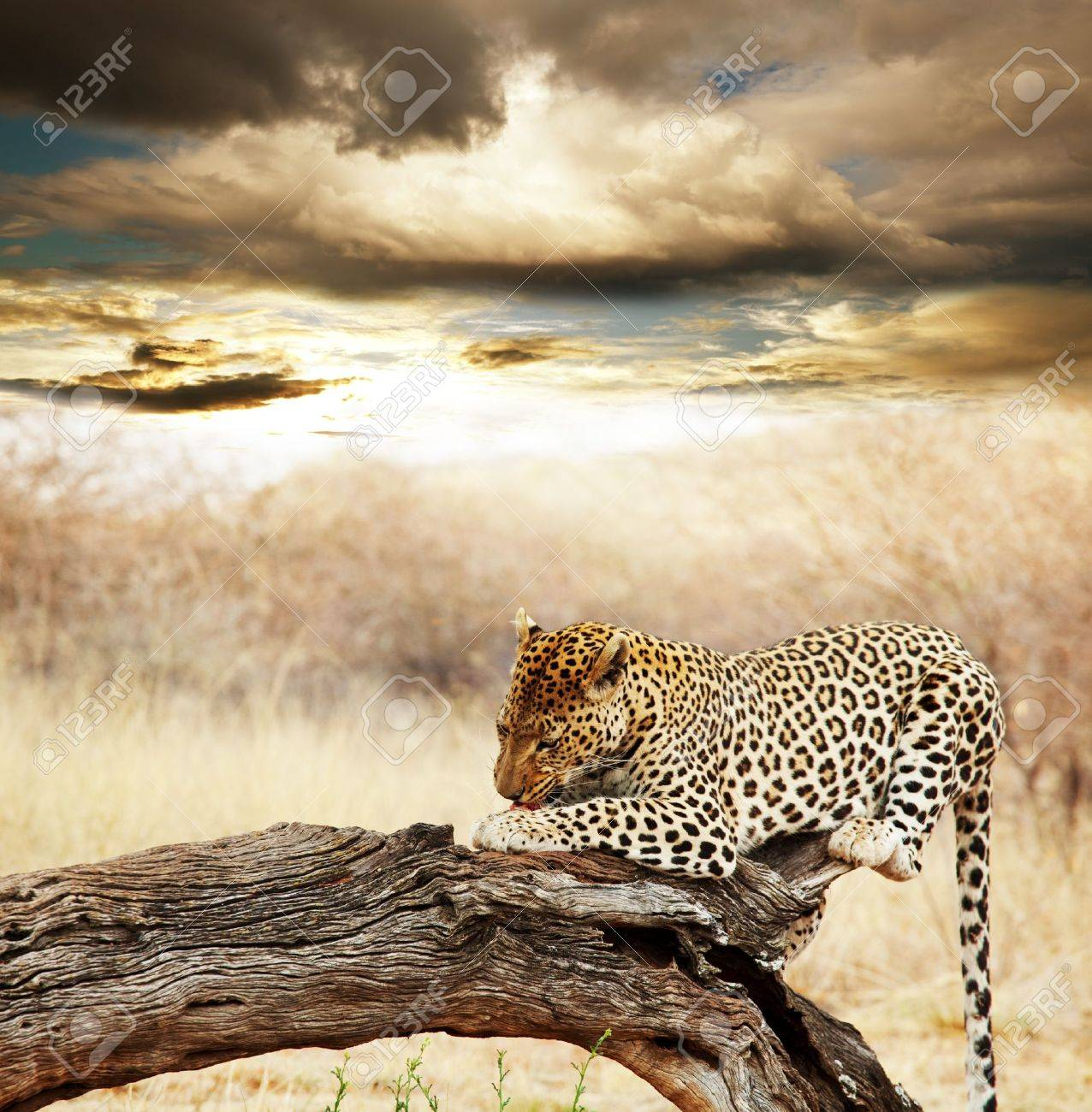 Wild cats collection Stock Photo - 11260696