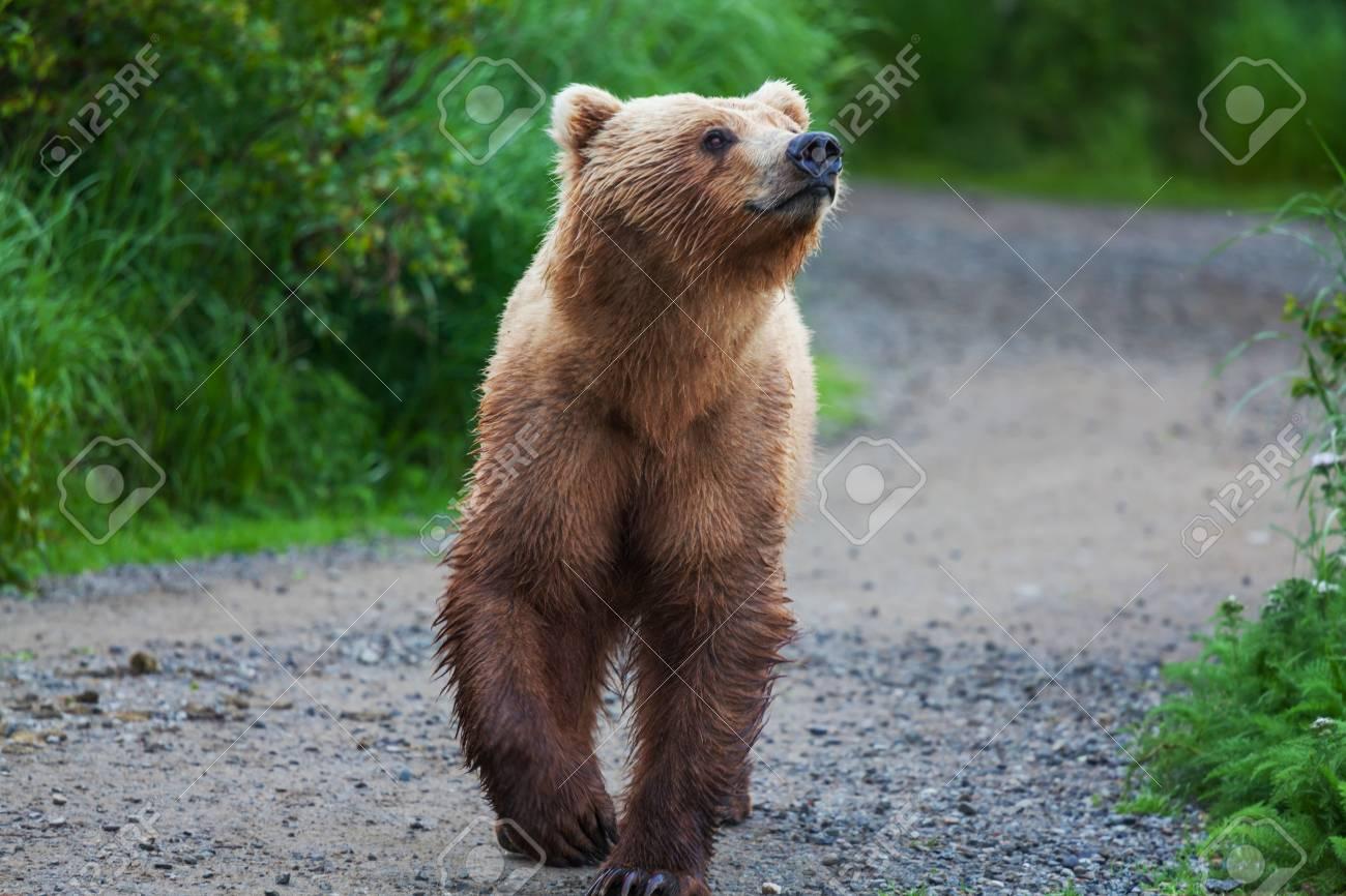 Brown bear on Alaska Stock Photo - 15819049