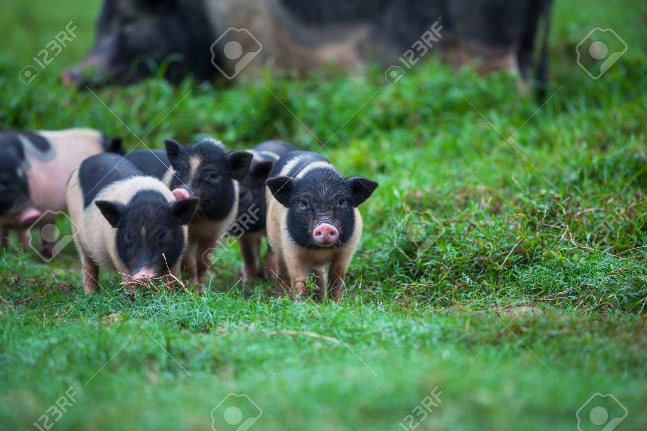 vietnam pig Stock Photo - 16482261