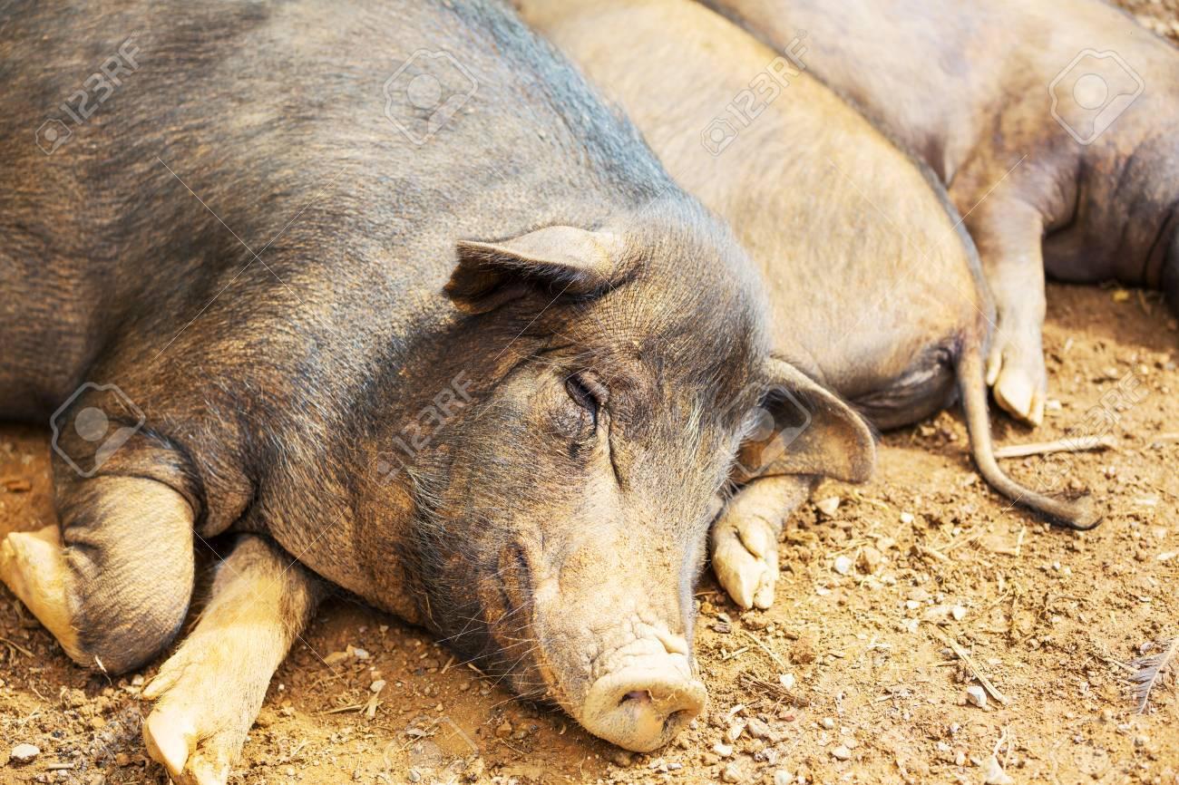 vietnam pig Stock Photo - 16544799