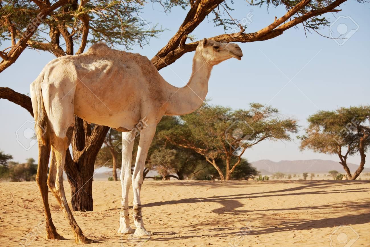 Camel at sunset Stock Photo - 16668212