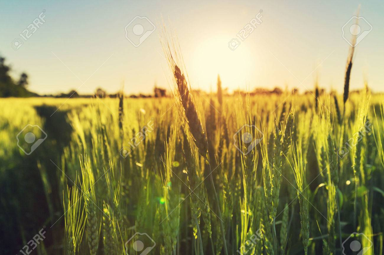 Wheat Stock Photo - 41029261