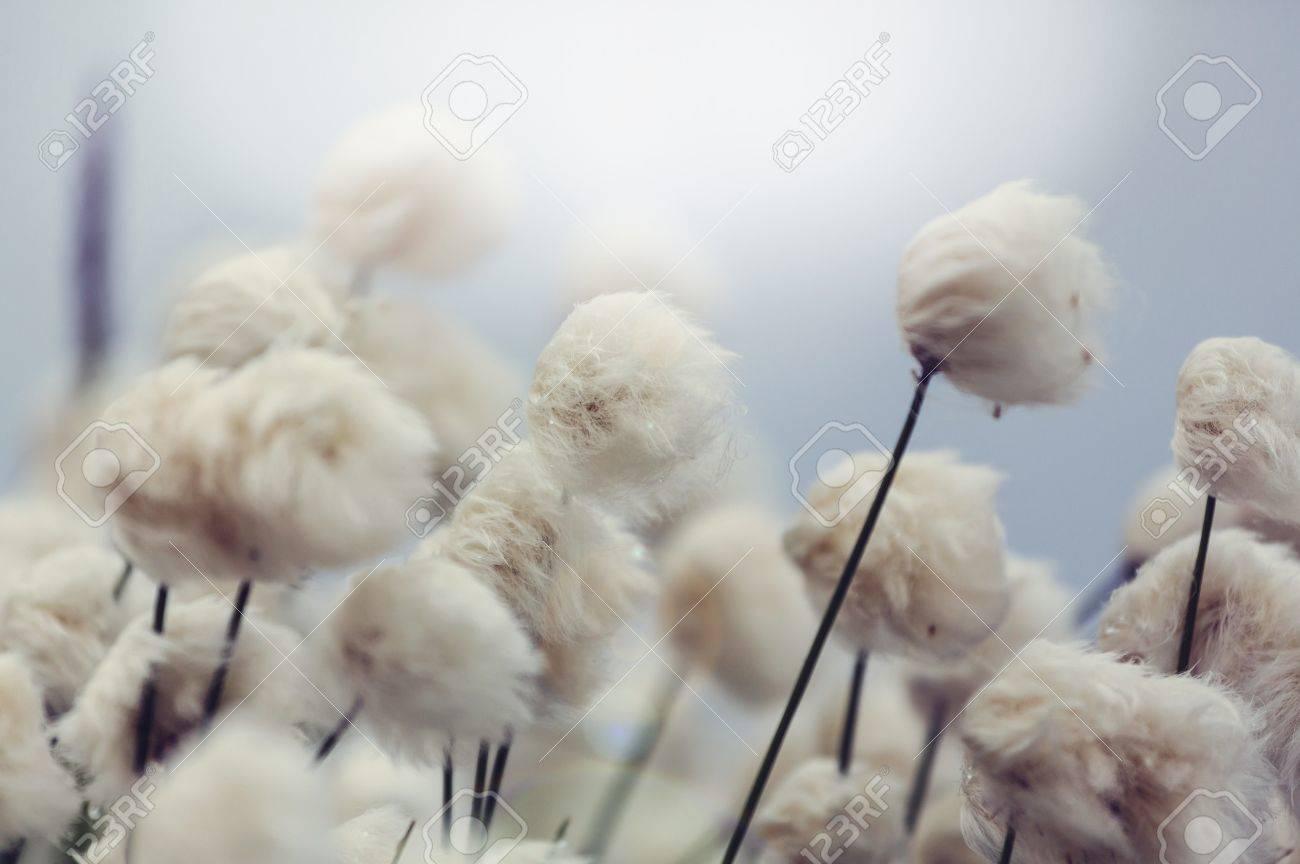 Arctic cotton flowers Stock Photo - 48380374