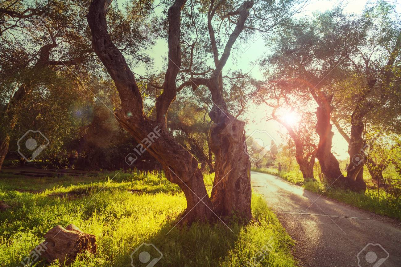 Olives Garden Stock Photo, Picture And Royalty Free Image. Image ...
