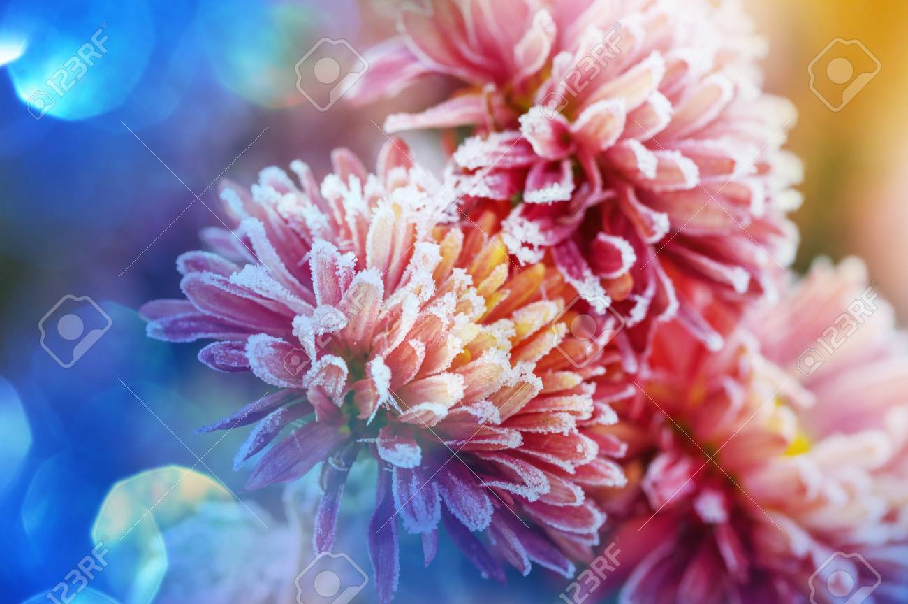 Beautiful pink frozen flower late autumn in morning Stock Photo - 91501460