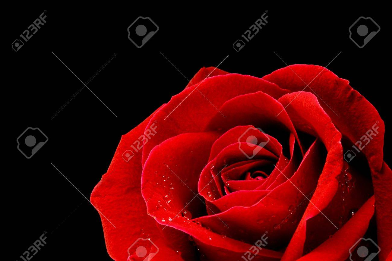 Red rose closeup on back background wallpaper - 17792680
