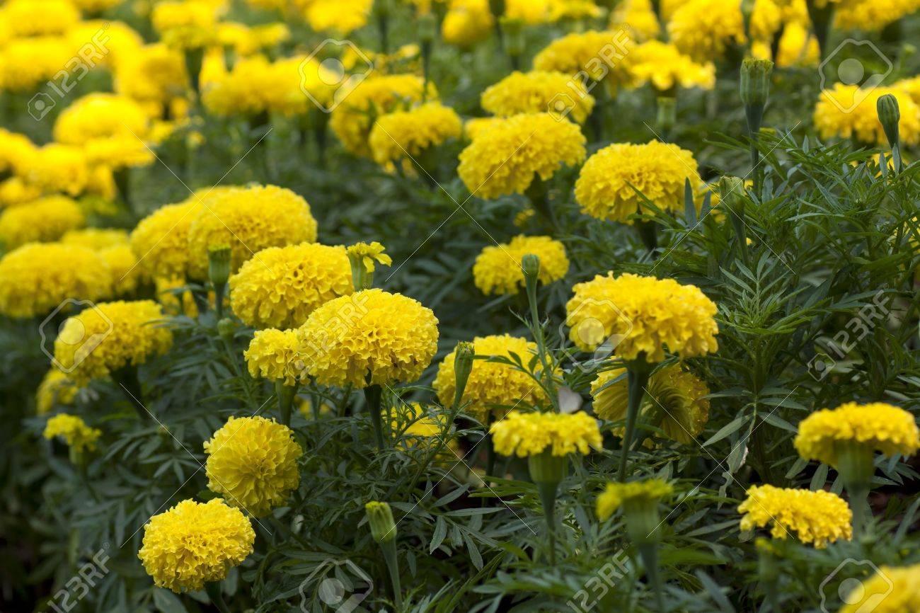 Marigold Yellow Flower Field In The Green Garden Stock Photo