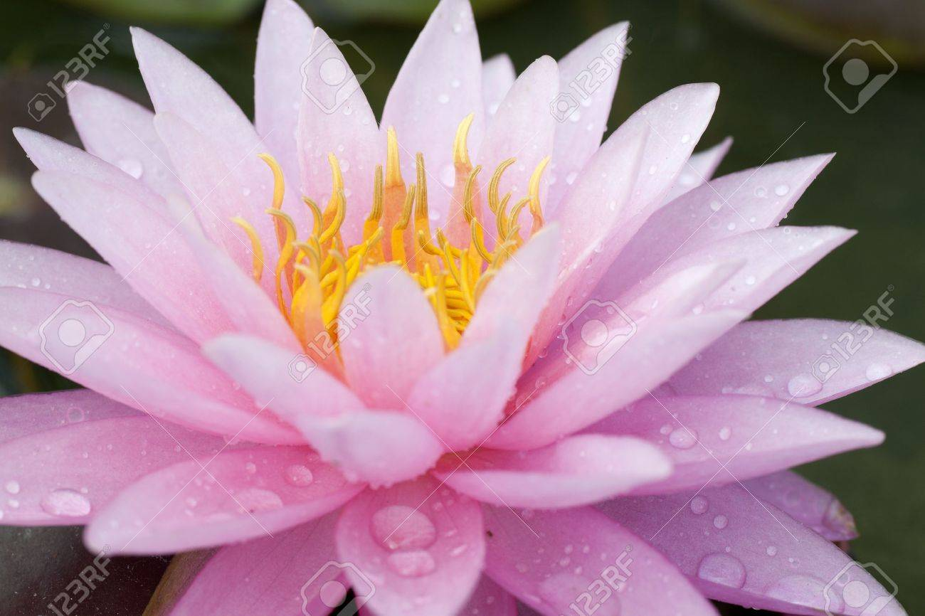 Close up of a pink water lily with water drop Stock Photo - 13312944