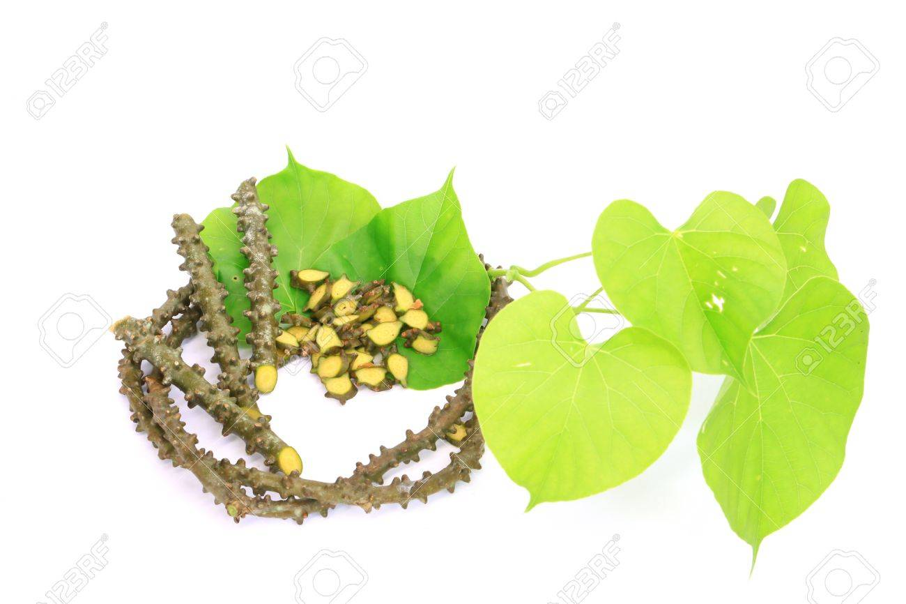 Tinospora crispa L Miers ex Hook f Thoms Herd of Thailand - 14007684