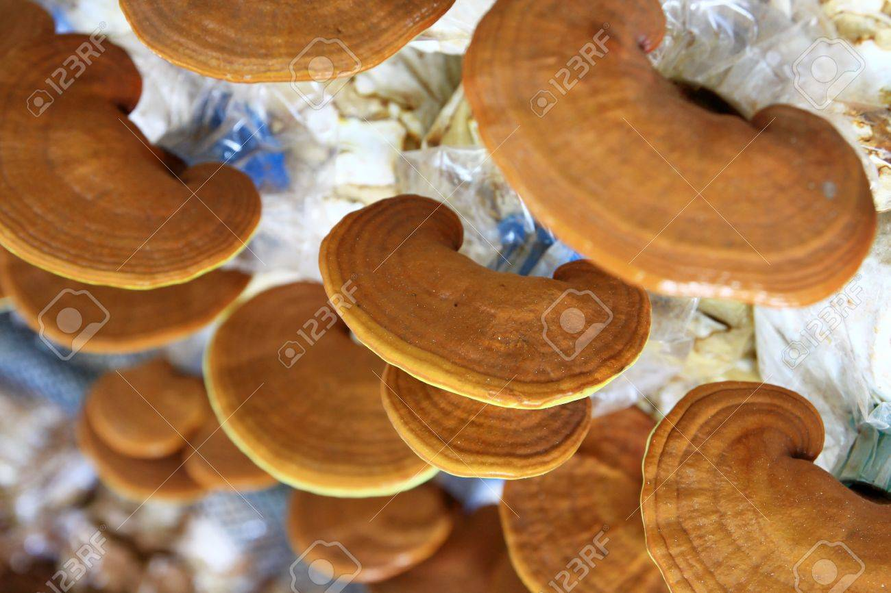 Ganoderma lucidum in the mushroom farm 90 days - 14869312