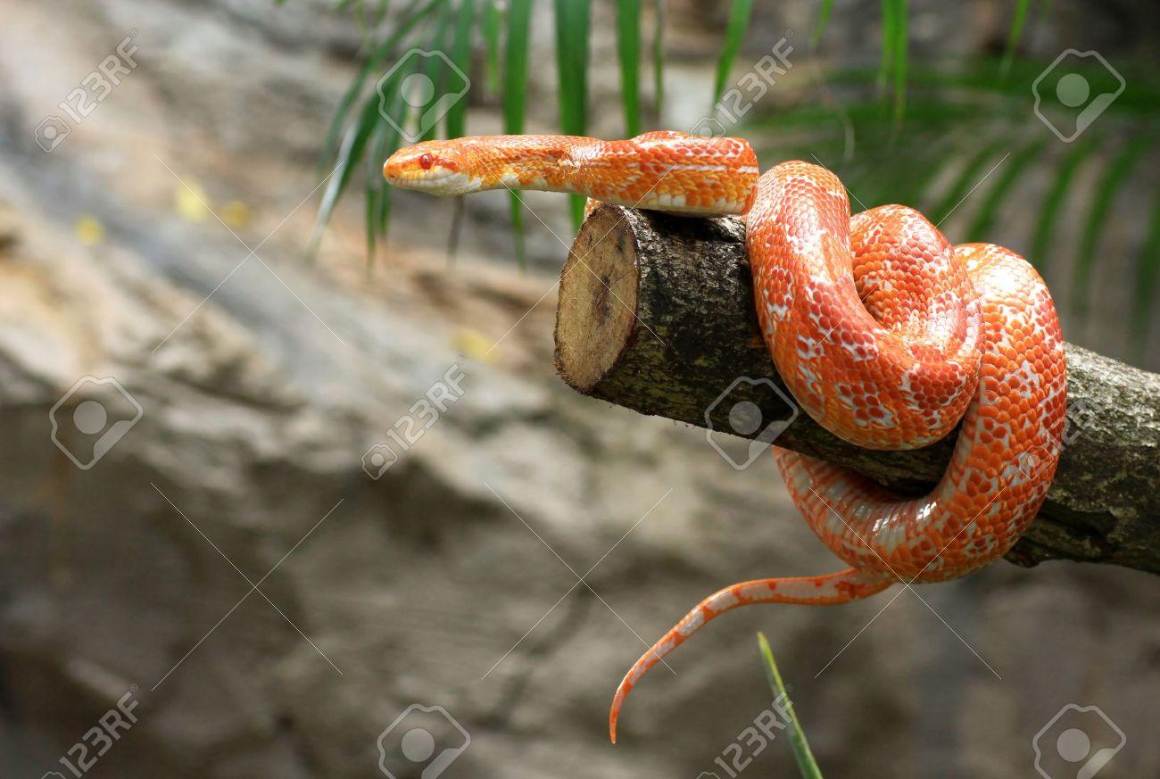 Corn snake on a branch - 15393552
