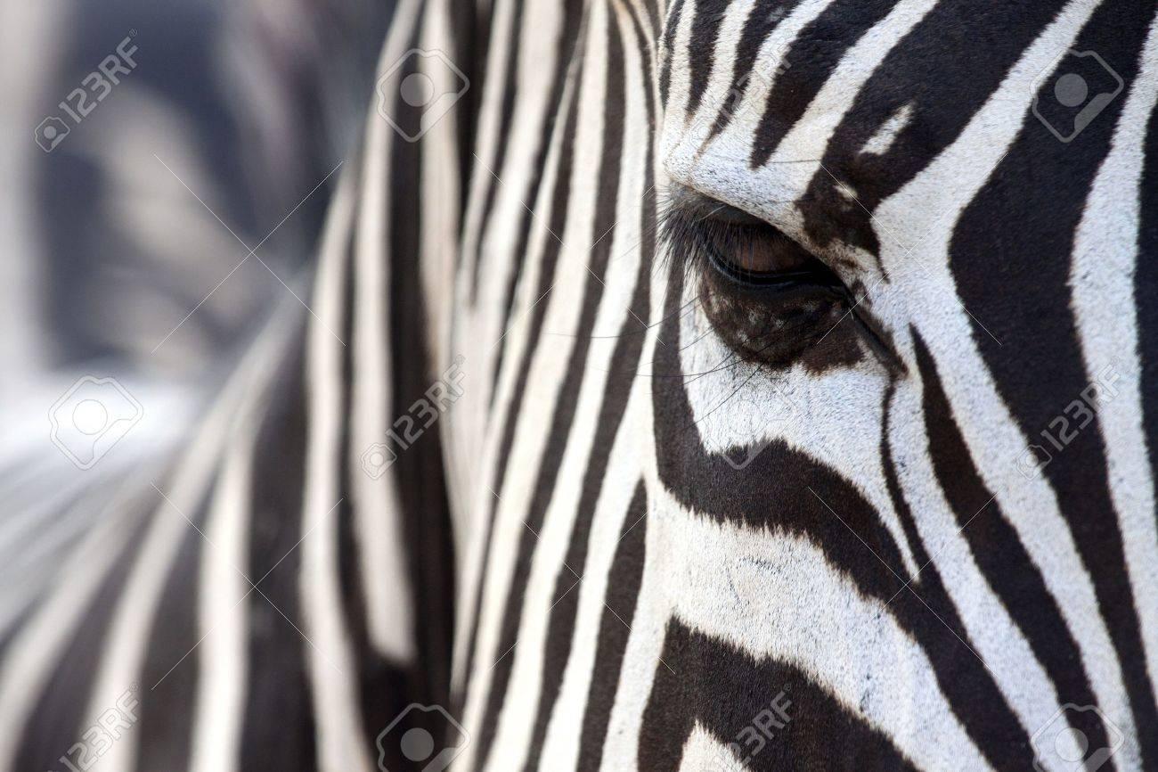 zebra's eye hidden in stripes - 15806009