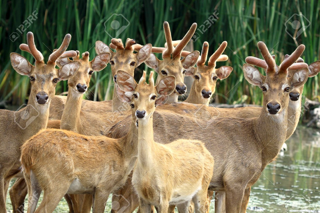 A Group Of Deer Looking Camera Stock Photo Picture And Royalty Free Image Image 15825566