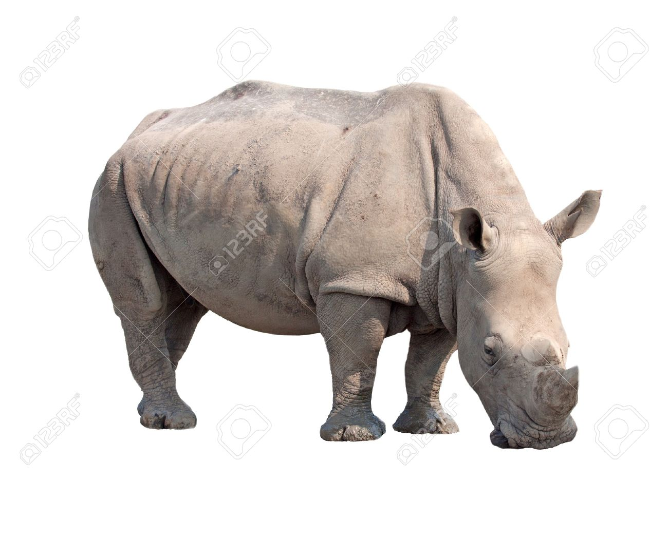 rhinoceros isolated on white background with paths - 15991428