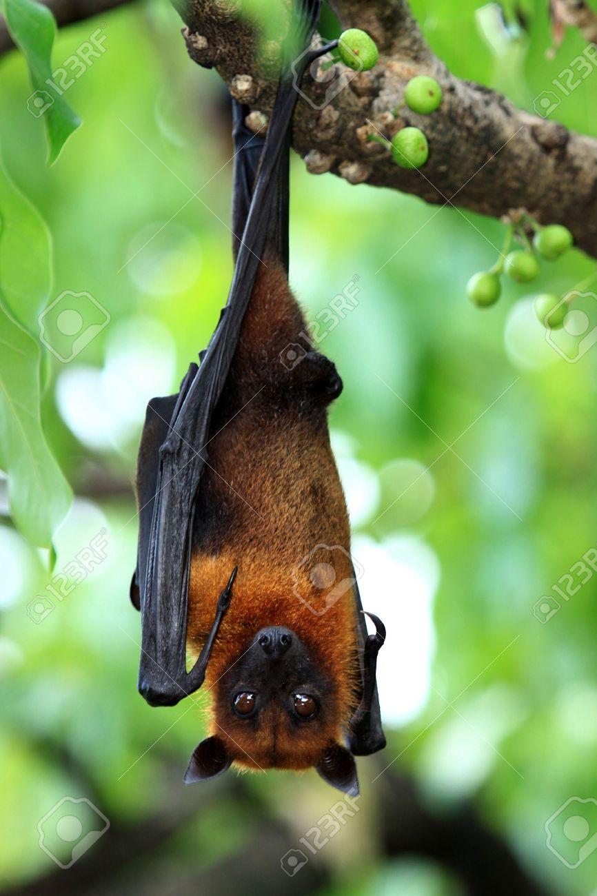 bat hanging on a tree branch malayan bat stock photo picture and