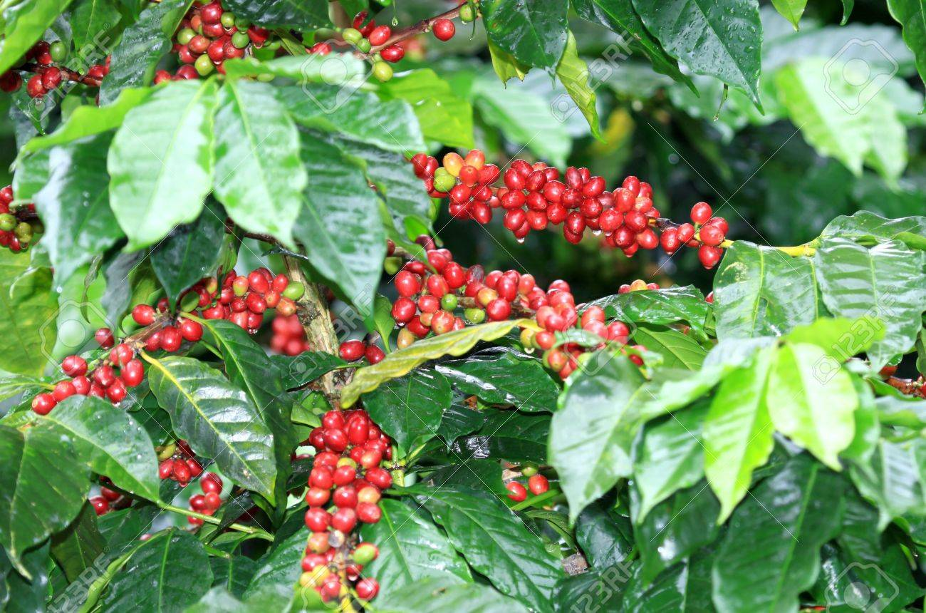 Coffee beans ripening on tree in North of thailand - 16712037