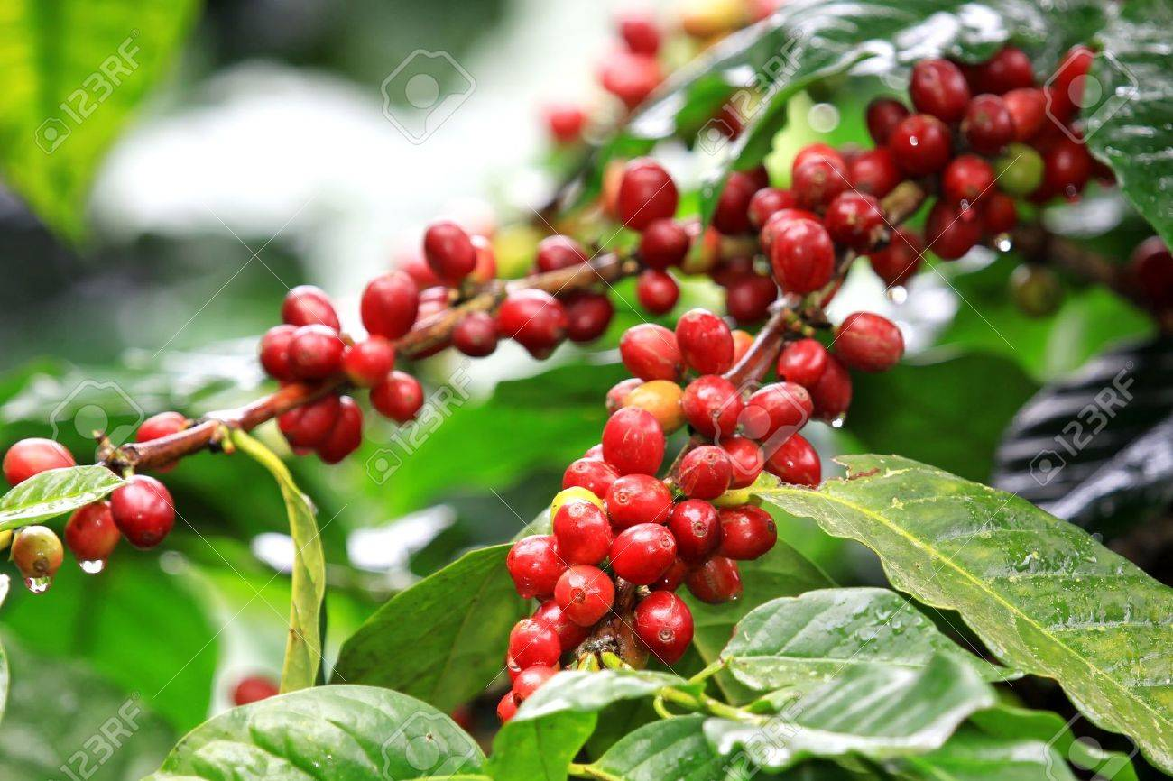 Coffee beans ripening on tree in North of thailand - 16712065