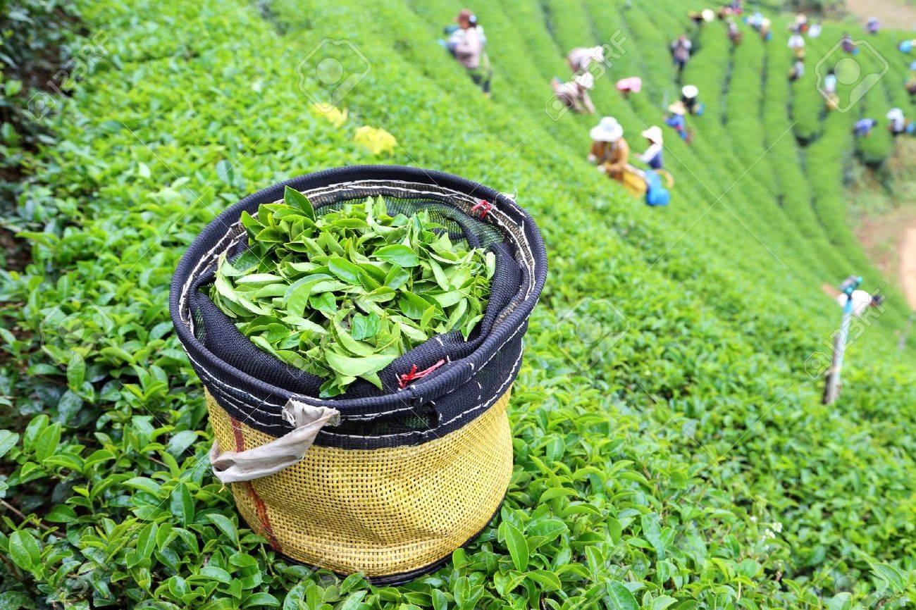 green tea plantation landscape in Thailand - 17338766