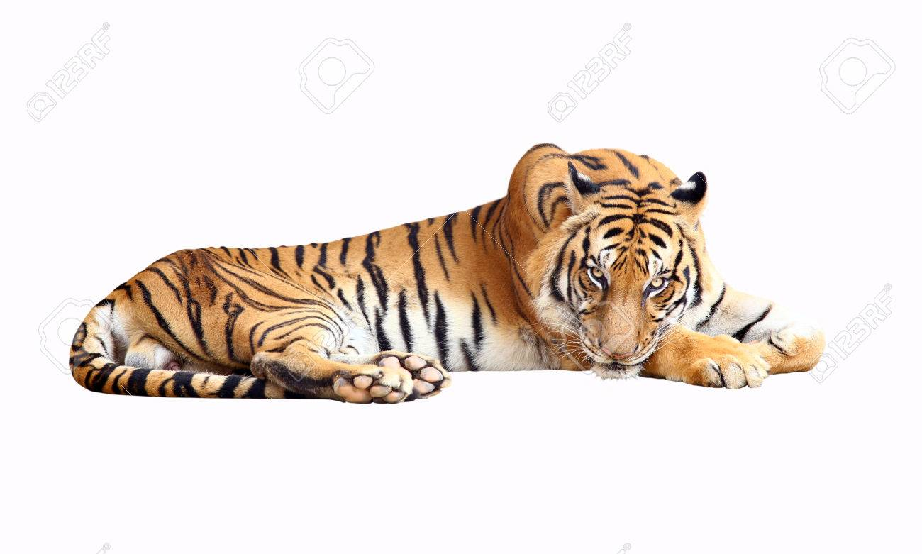 Tiger with clipping path - 23469529