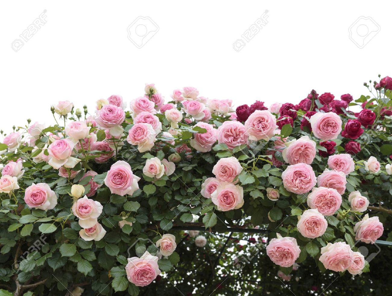 Climbing pink roses in garden - 40401955