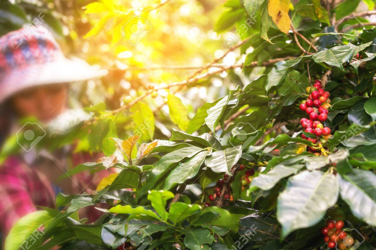 woman picking red coffee beans on bouquet on tree - 61036891