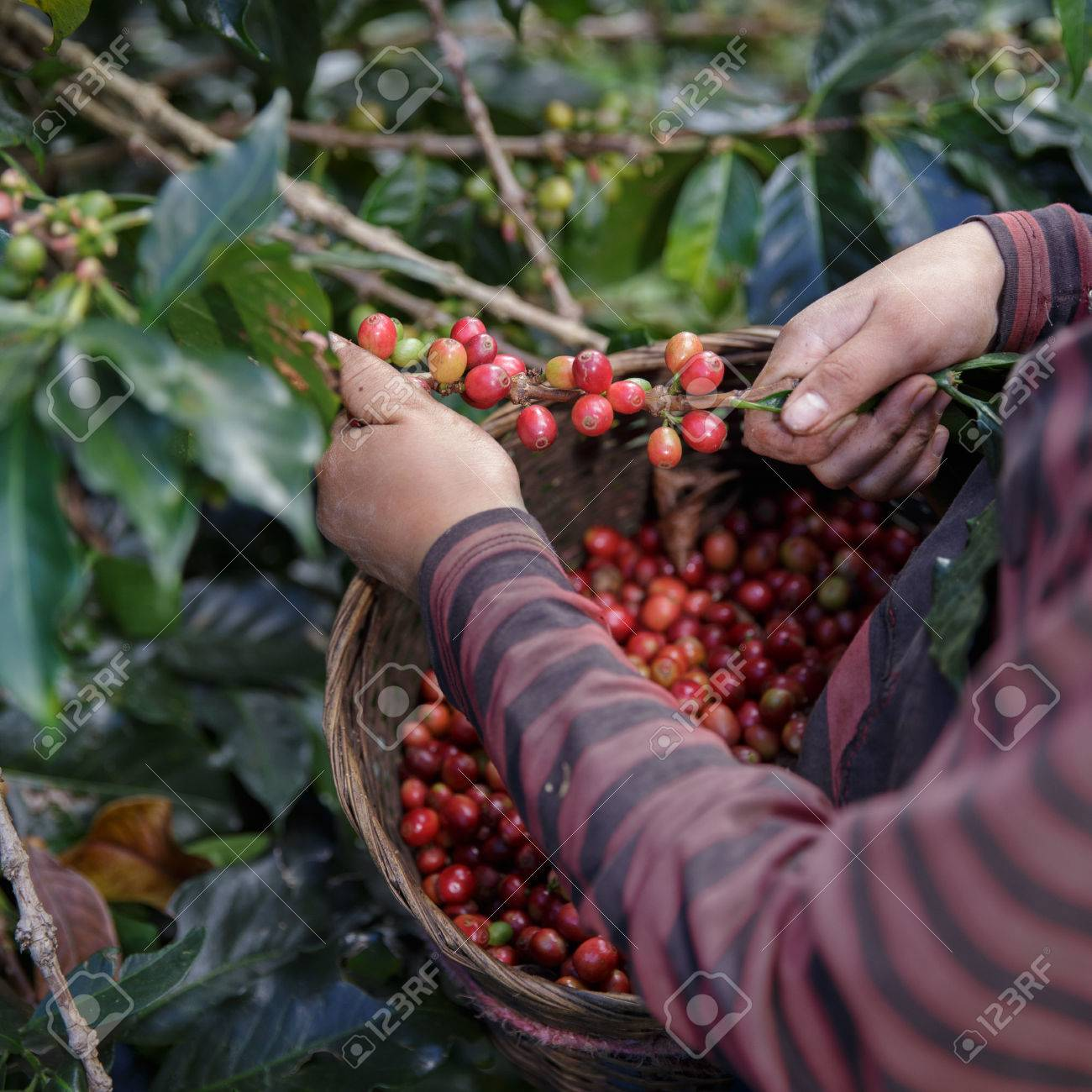 Close Up hand of farmers picking branch of arabica coffee berries red with basket. - 73748153