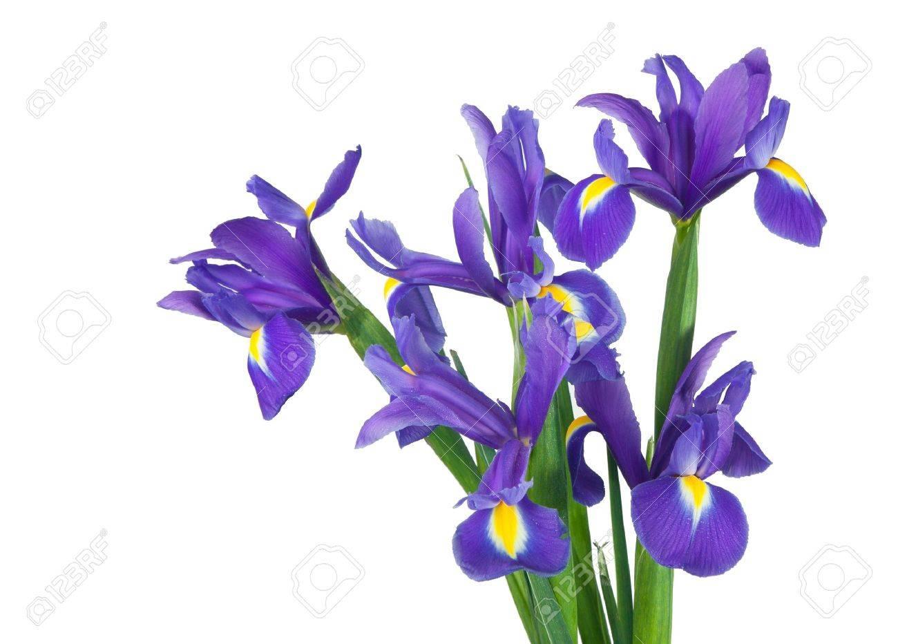Bevorzugt Bouquet D'iris Isolement Sur Un Fond Blanc Banque D'Images Et  HP75