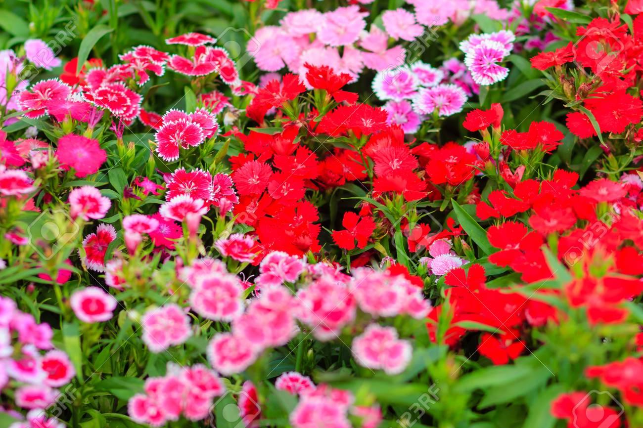 Beautiful background of blooming snowfire china doll china stock beautiful background of blooming snowfire china doll china pink flower pink dianthus flowers izmirmasajfo