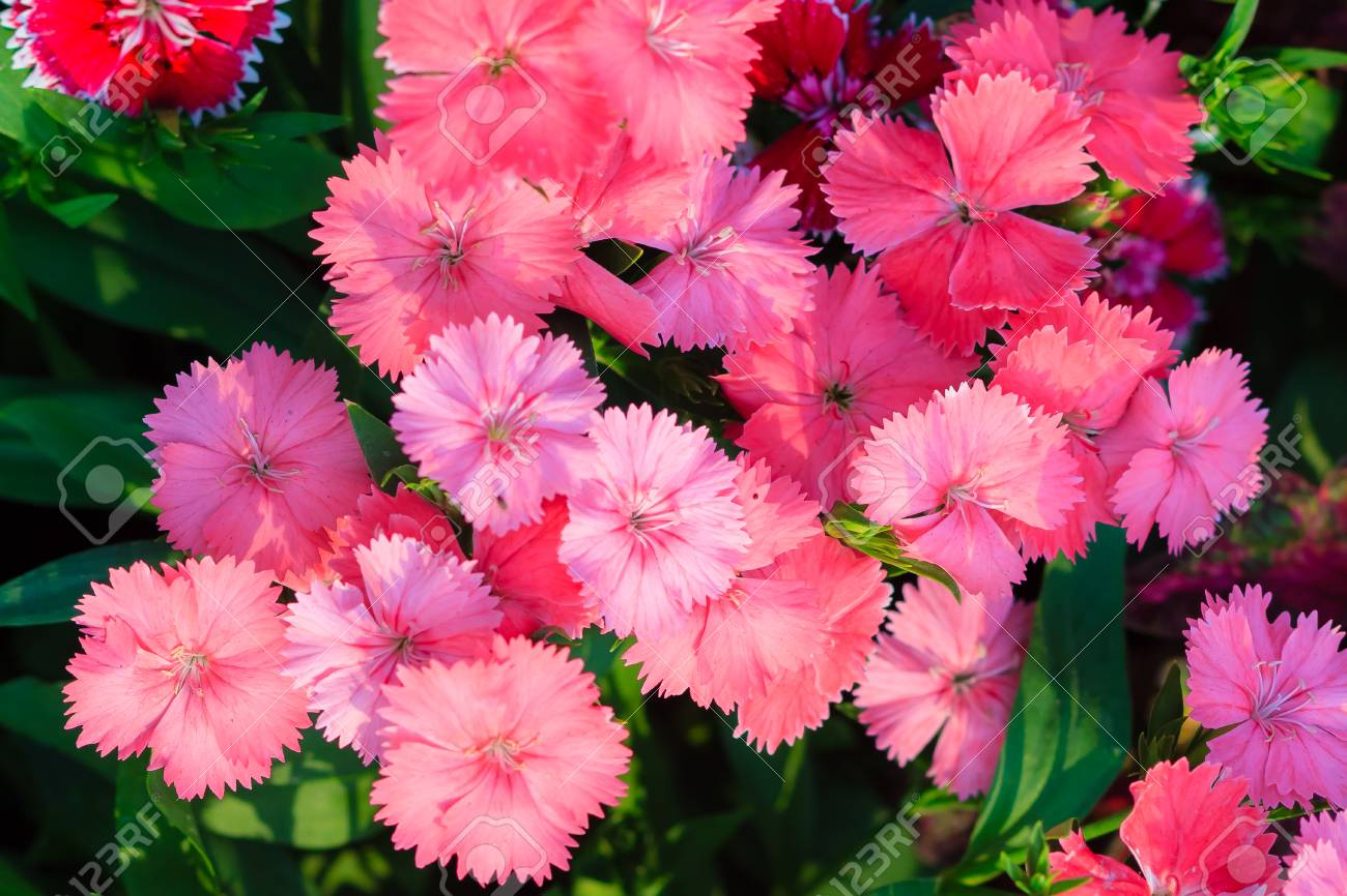 Beautiful Pink Indian Pink China Pink Or Rainbow Pink Flowers
