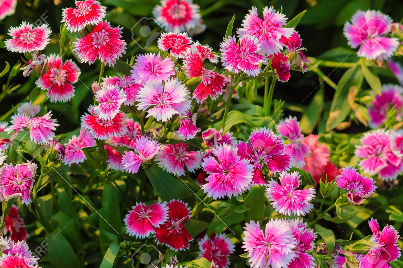 Beautiful Background Of Blooming Snowfire China Doll China Stock