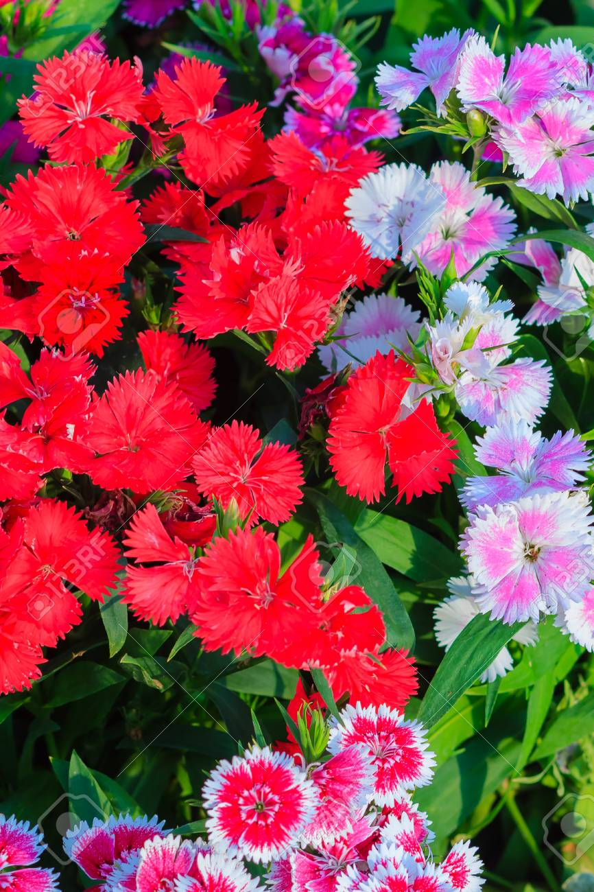 Beautiful Red Pink Bravo Chinensis Dianthus China Pink Rainbow