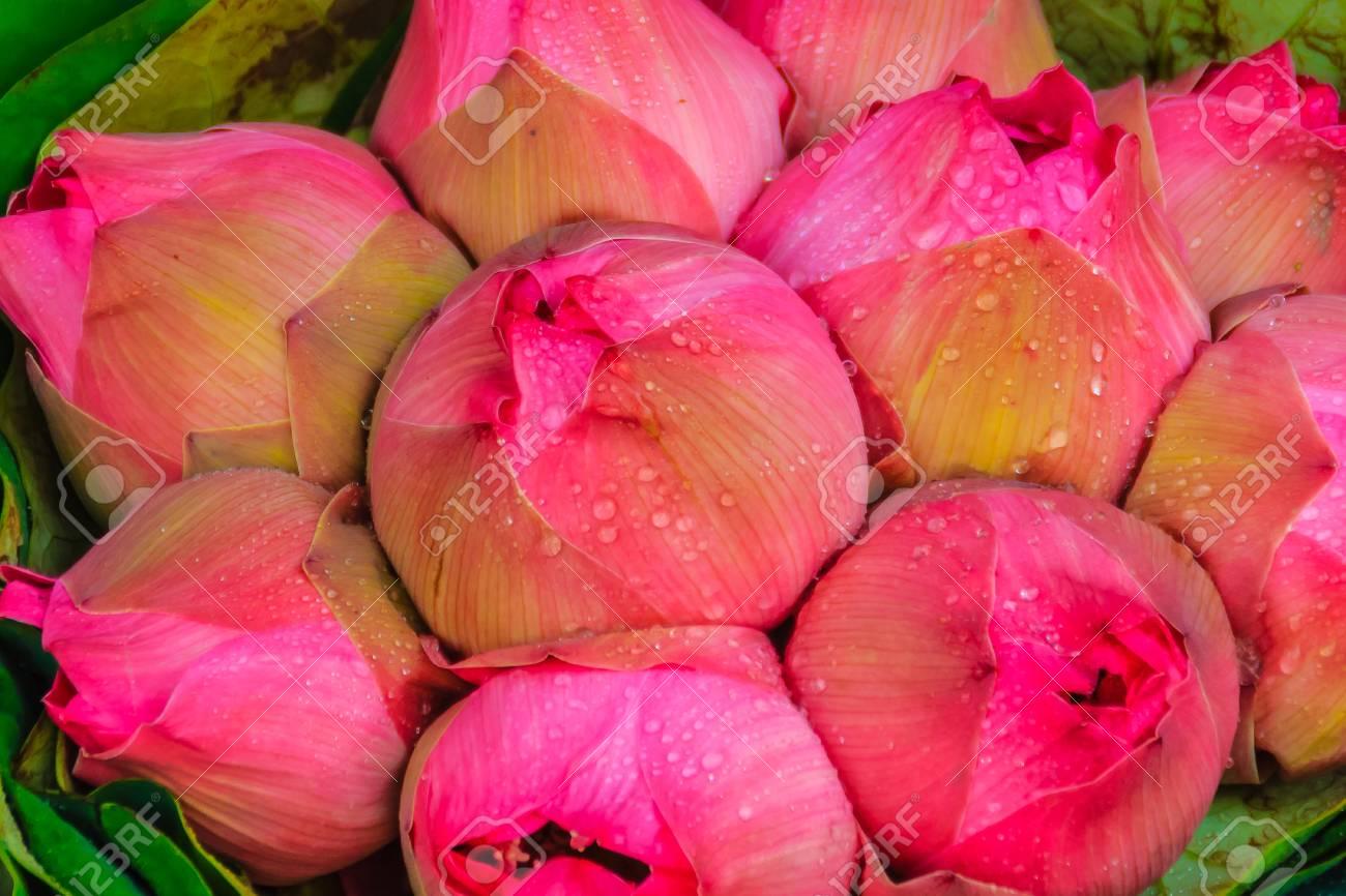 Bunches of pink sacred lotus nelumbo nucifera gaertn waiting bunches of pink sacred lotus nelumbo nucifera gaertn waiting for sale in flower market izmirmasajfo