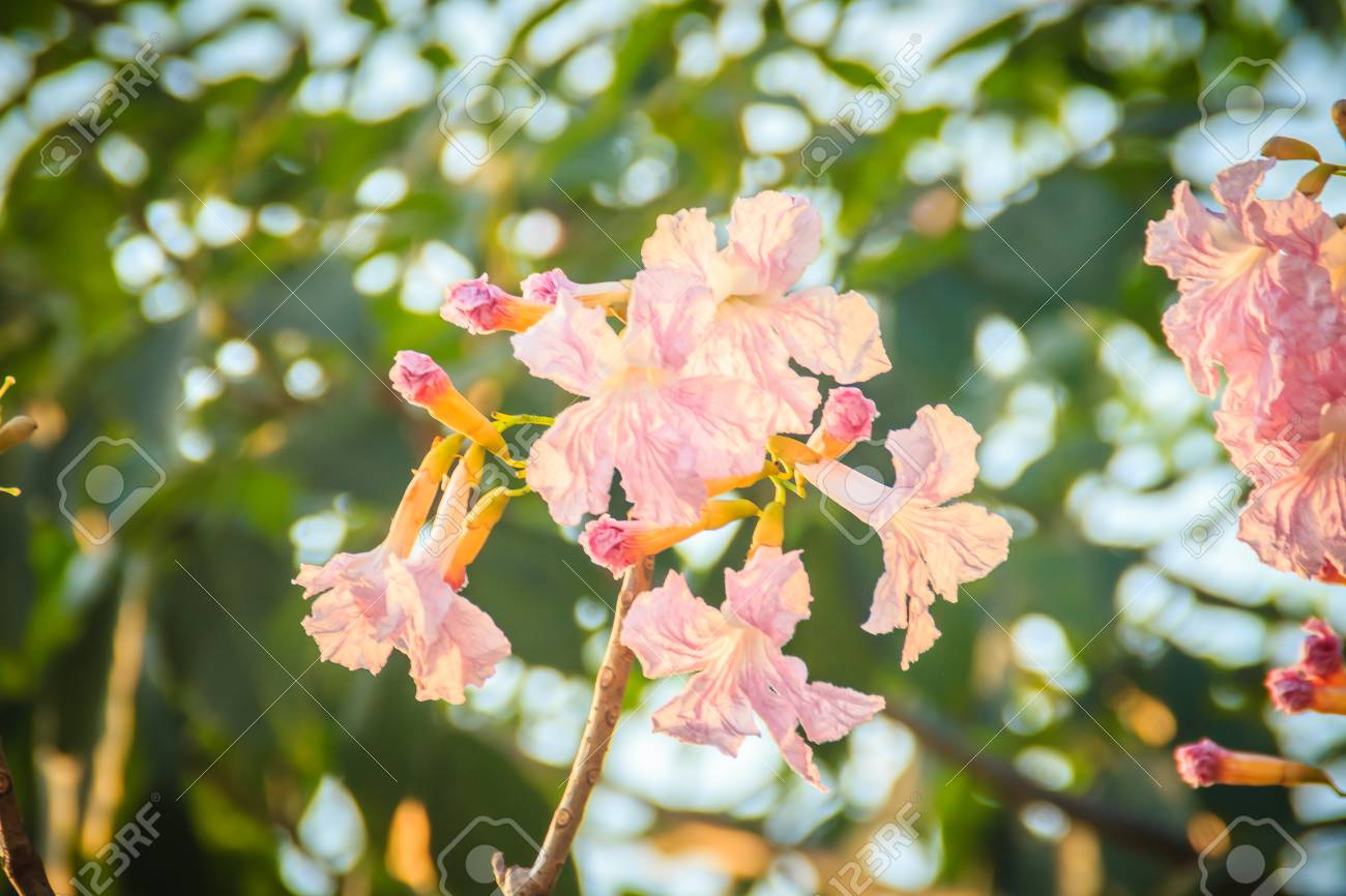 Close Up Pink Trumpet Tabebuia Rosea Flowers On Tree With Branches