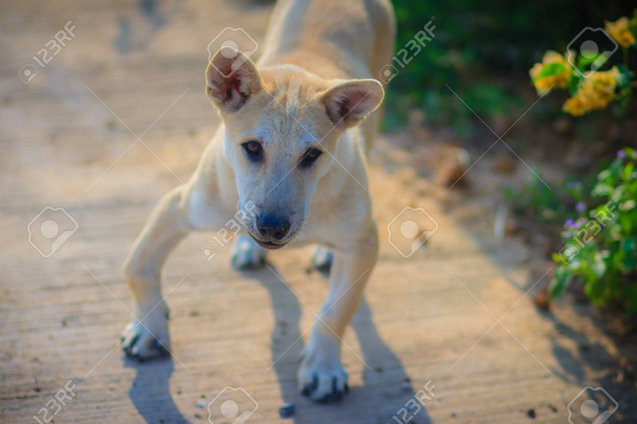 Stock P O White Disabled Dog That Stand On Concrete Floor In The Morning And Barking To The Stranger Single Disabled Dog And His Shadow On The Floor In