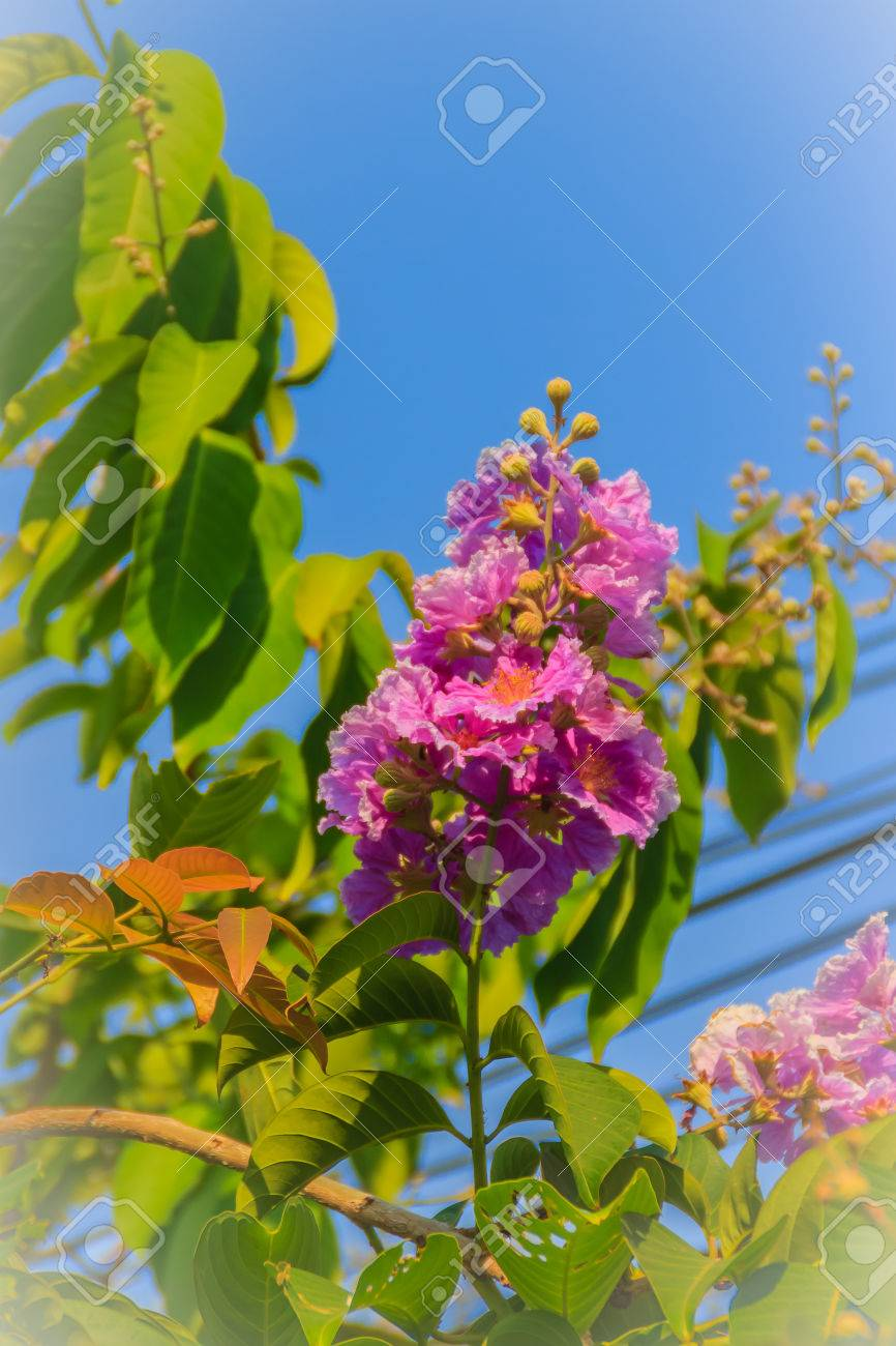 Purple flowers and green leaves of queens flower lagerstroemia purple flowers and green leaves of queens flower lagerstroemia speciosa on tree with blue mightylinksfo
