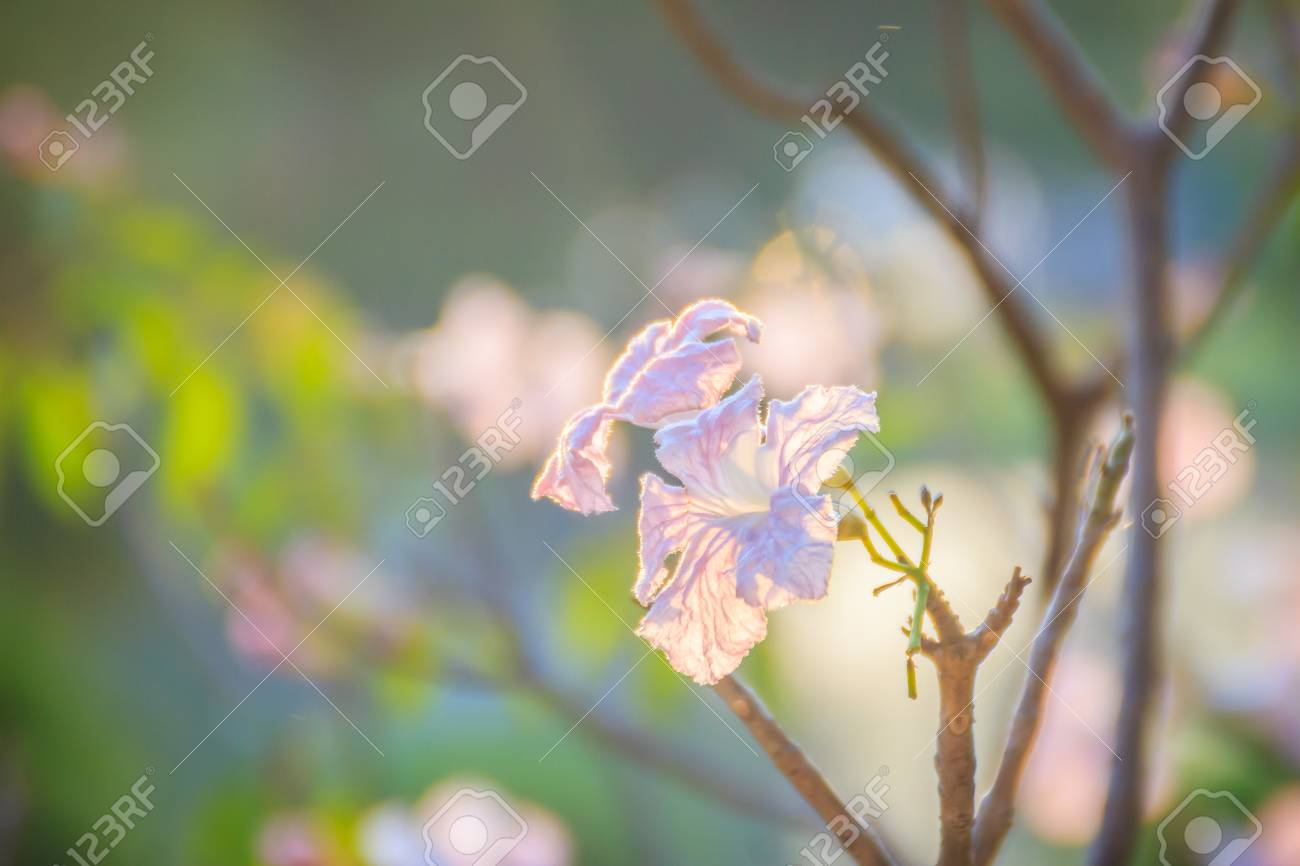 Close up pink trumpet tabebuia rosea flowers on tree with branches close up pink trumpet tabebuia rosea flowers on tree with branches and leaves mightylinksfo