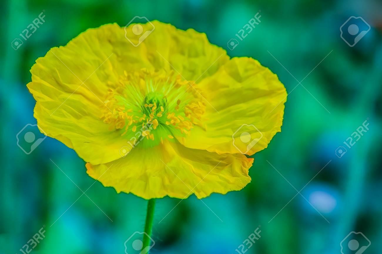 Beautiful yellow stylophorum diphyllum celandine poppy wood beautiful yellow stylophorum diphyllum celandine poppy wood poppy poppywort flower on mightylinksfo