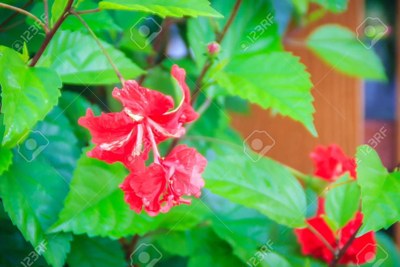 Red double petal vermillion flower of hybrid hibiscus rosa sinensis red double petal vermillion flower of hybrid hibiscus rosa sinensis also known as chinese izmirmasajfo