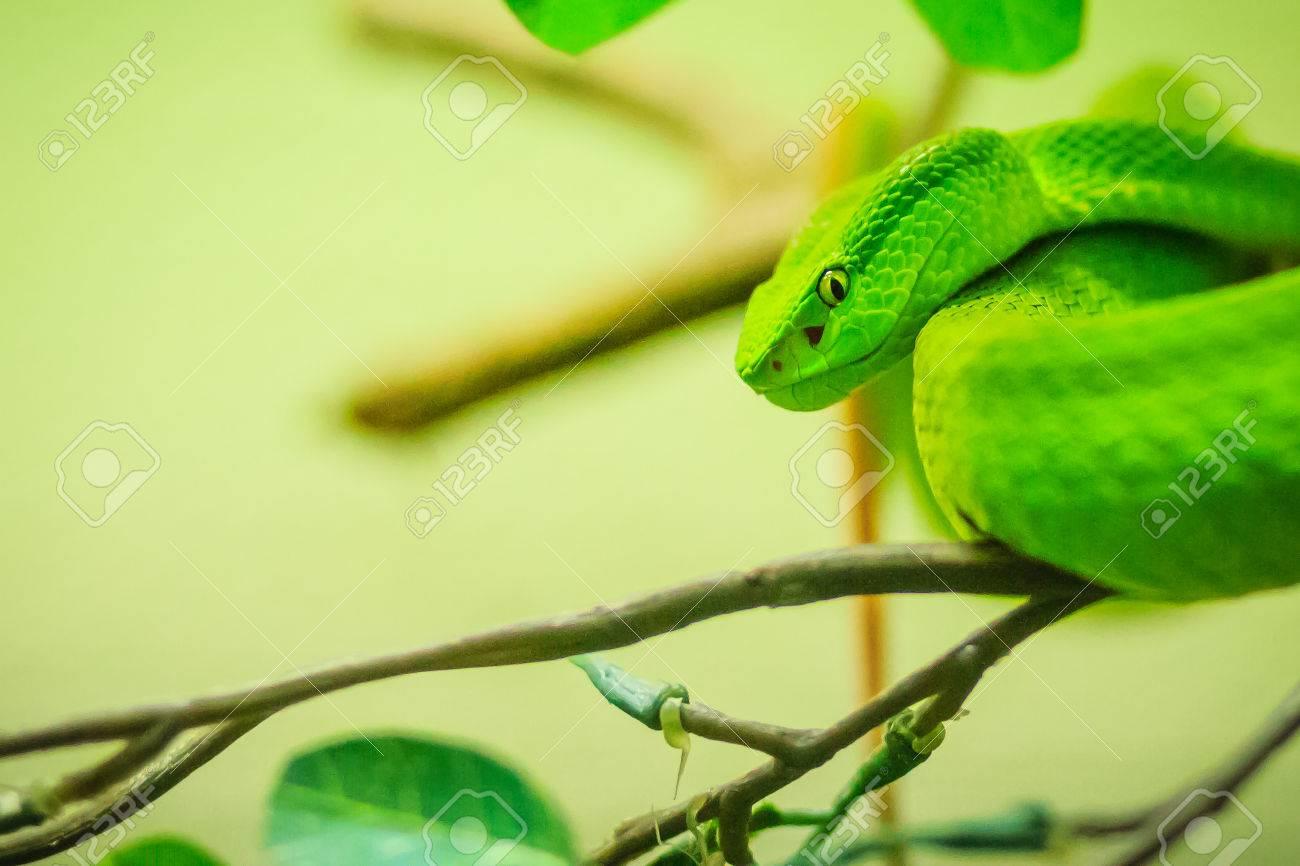 Trimeresurus Trigonocephalus The Sri Lankan Pit Viper Ceylon Stock Photo Picture And Royalty Free Image Image 85497335