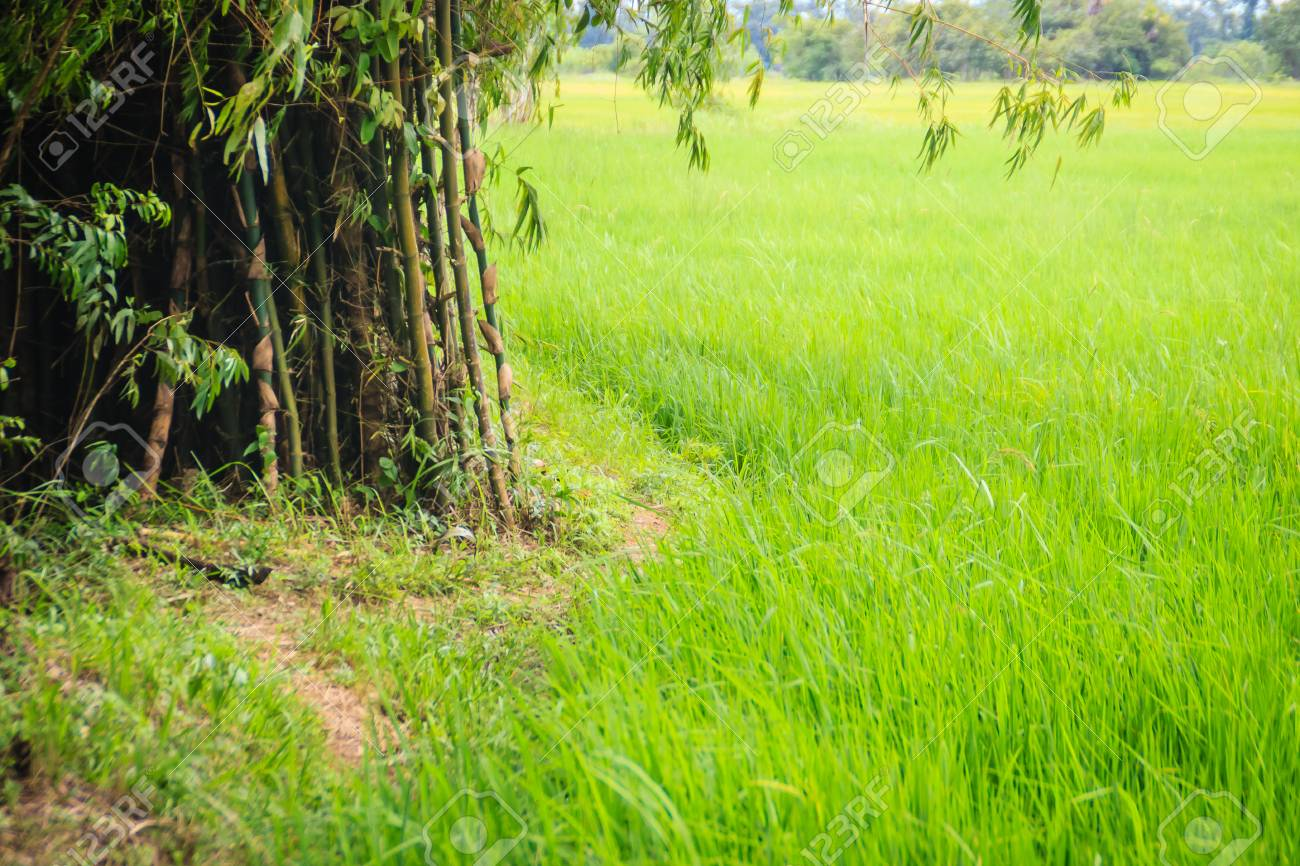 Mixed Farming By Planting Bamboo Trees In Rice Fields Is