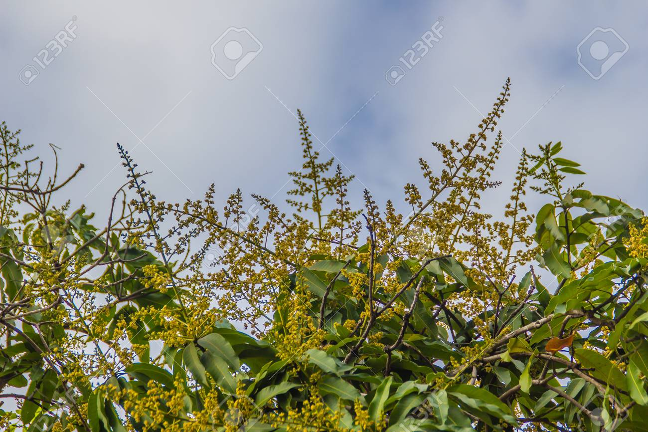 Mango Flowers On The Tree With Blue Sky And White Cloud Background
