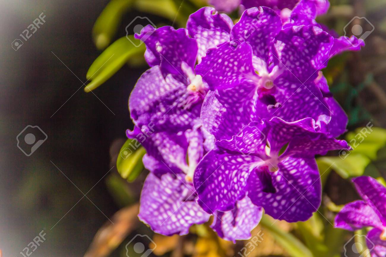 Vanda Sansai Blue Orchid Flowers Under Sunshine Look Like Purple