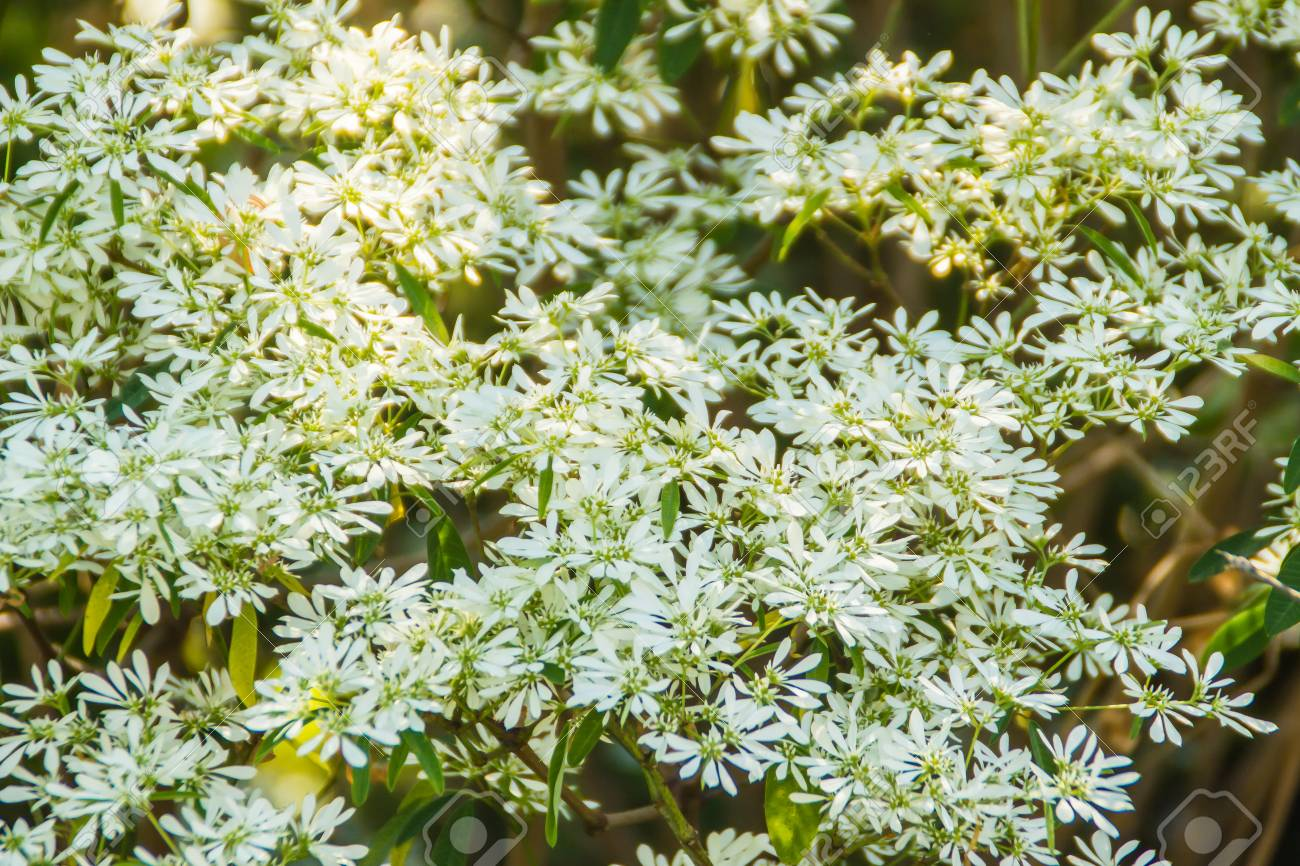 Christmas Bush Tea.Beautiful Little Christmas Flower Euphorbia Leucocephala Lotsy
