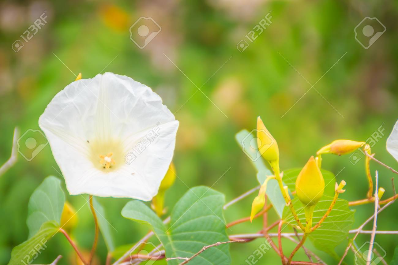 Beautiful White Wild Morning Glory Flower Ipomoea Carnea On