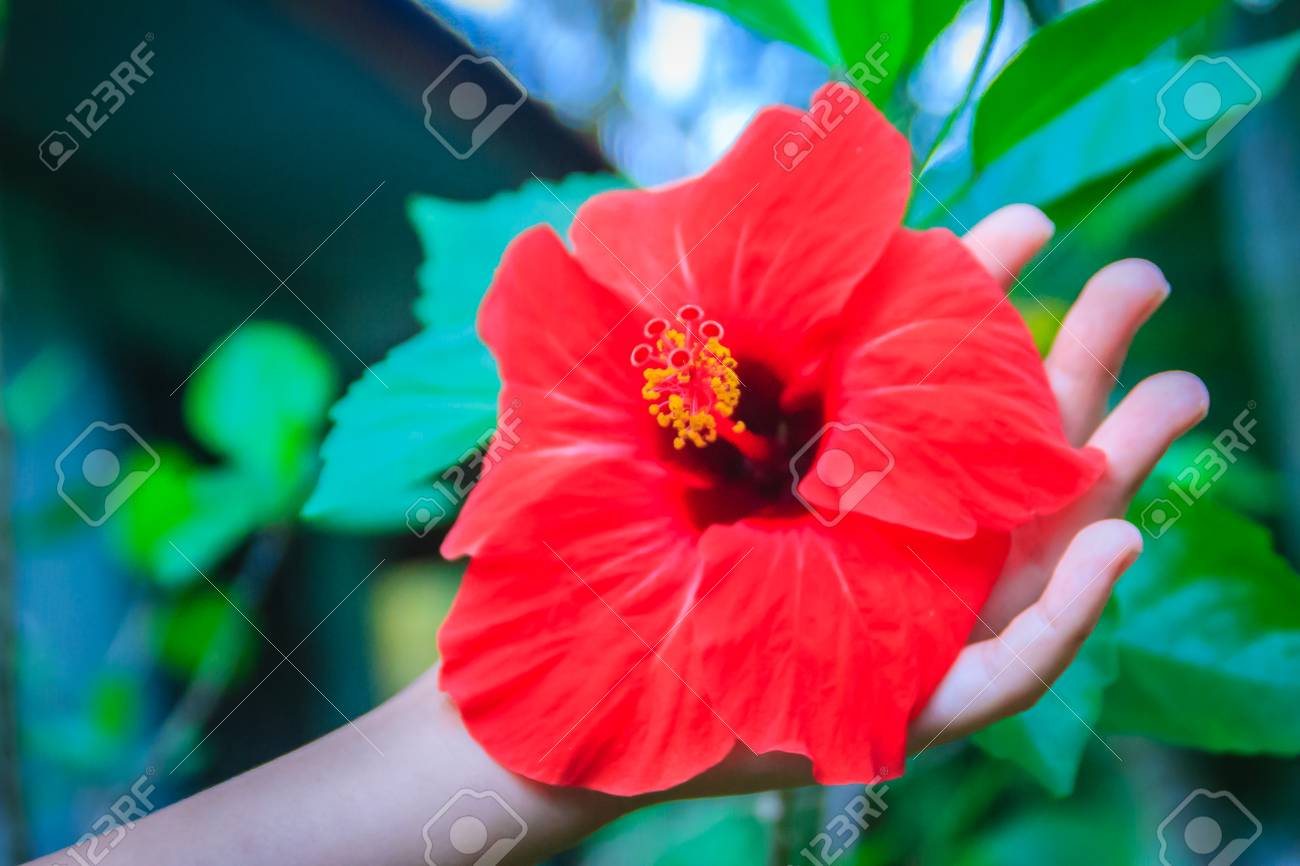 Red Hybrid Hibiscus Rosa Sinensis Flower Also Known As Chinese