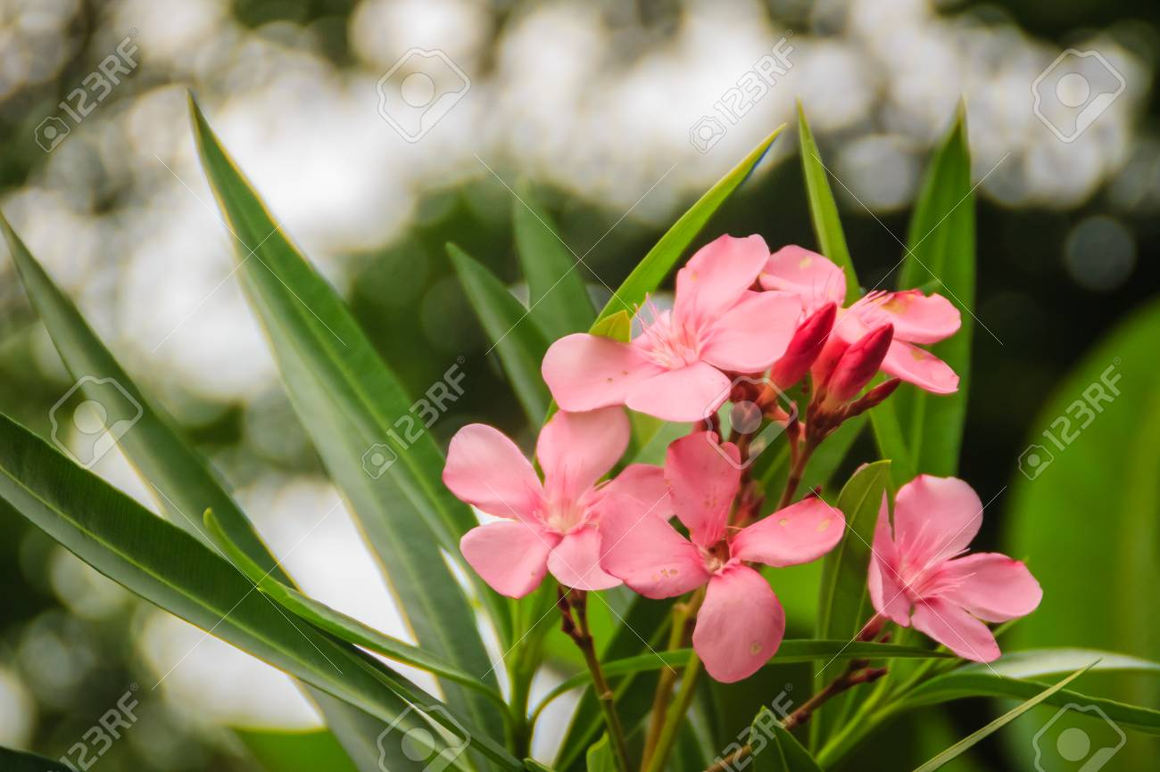Pink Nerium oleander flowers with green leaves background. Nerium..